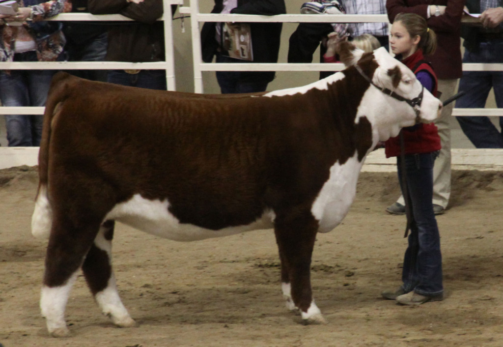 jr_hereford_polled_grand