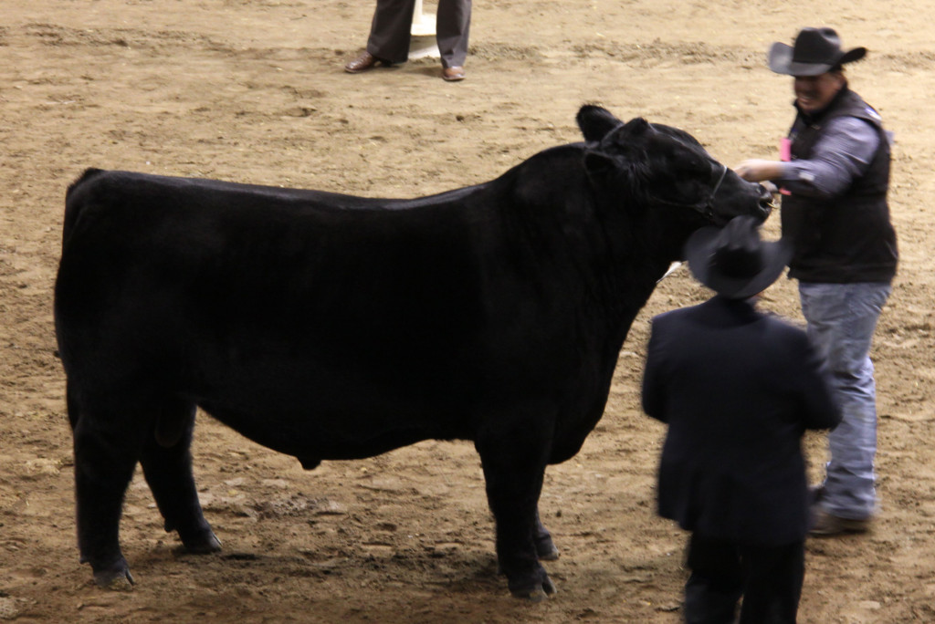 open_angus_bull_res