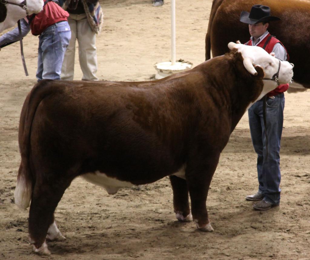 open_hereford_bull_horned_grand