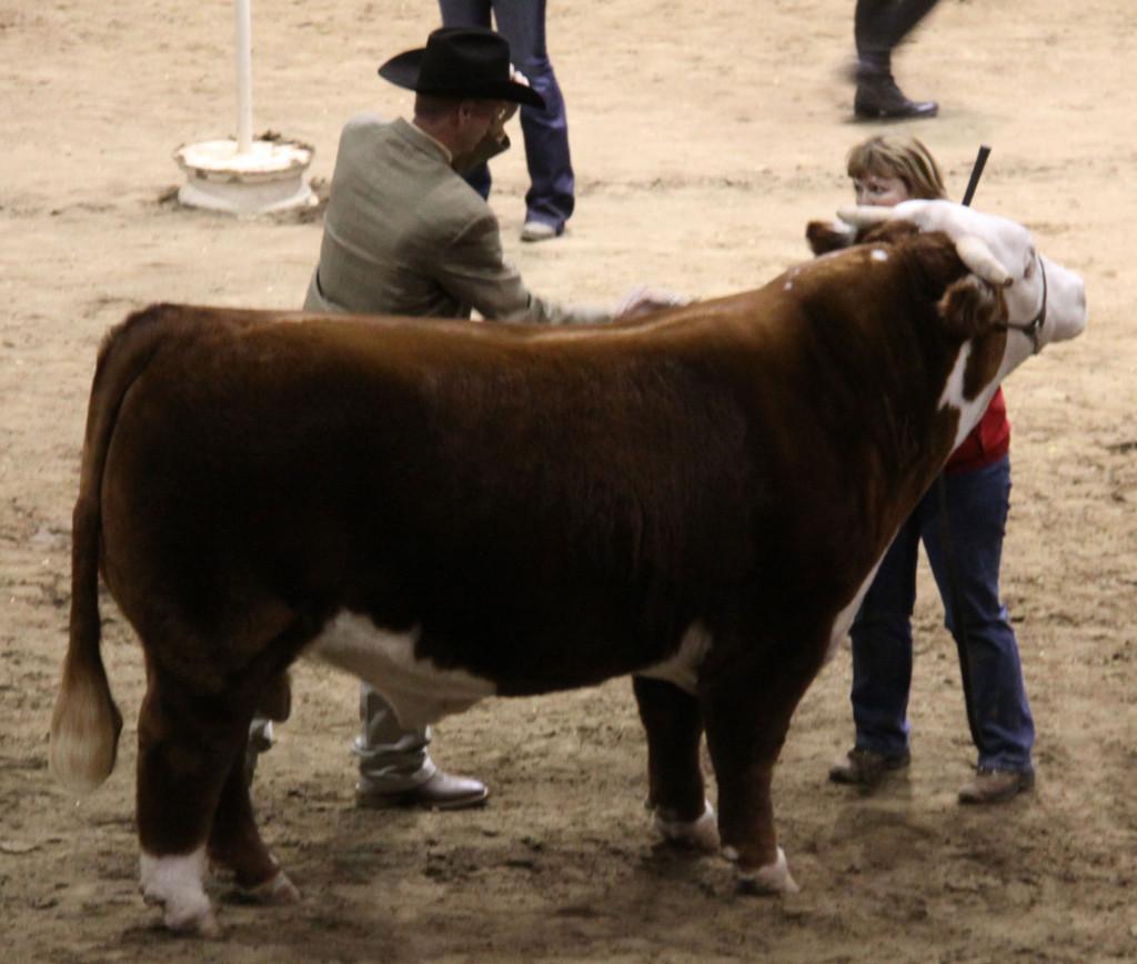 open_hereford_bull_horned_res