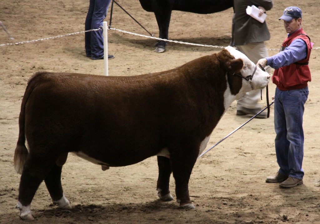 open_hereford_bull_polled_grand