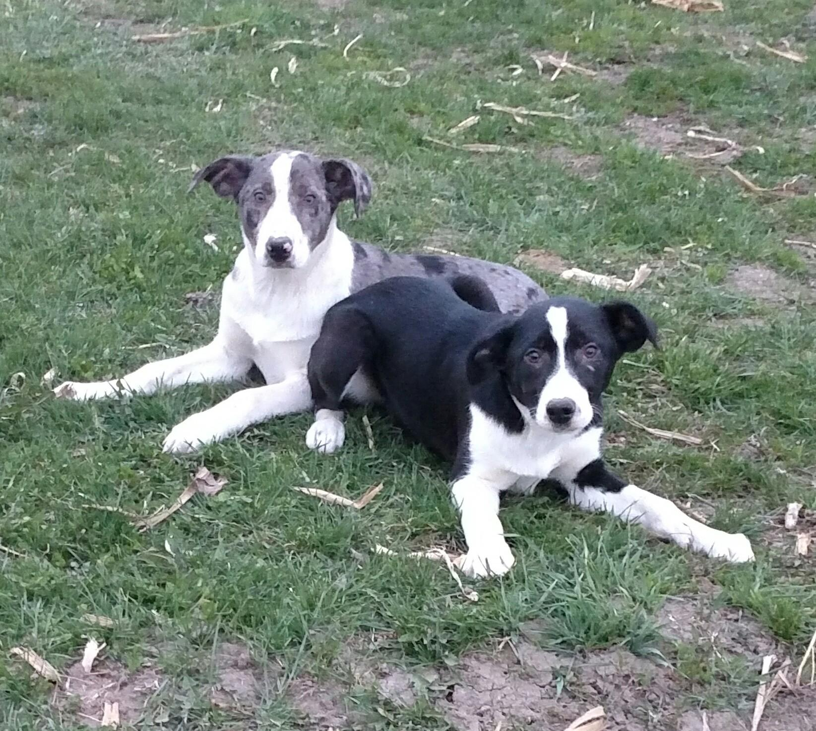 Hanging tree cow dogs for sale - _20160410_202401