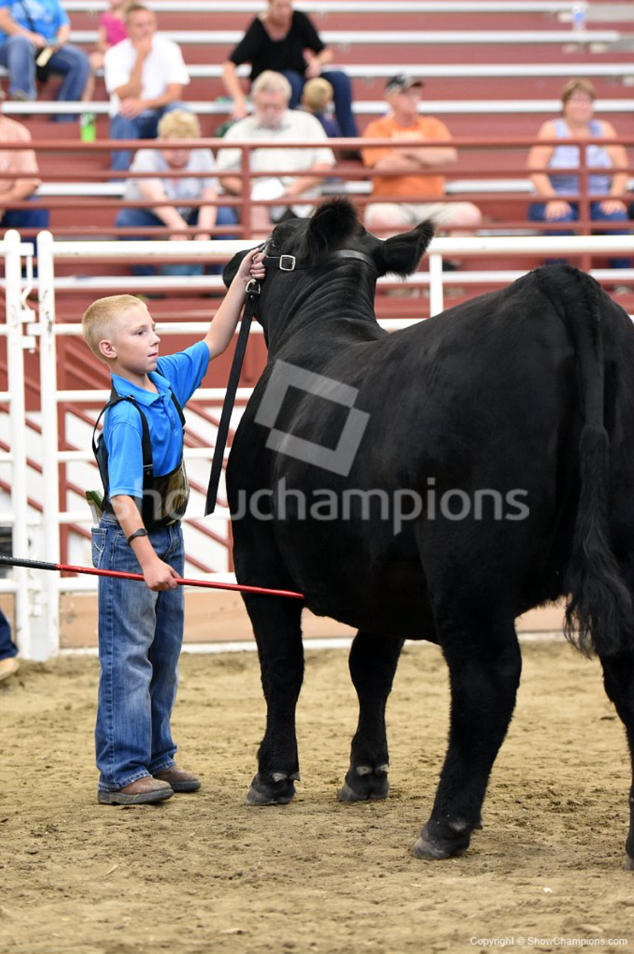 nebraska state fair junior breeding heifer show candids