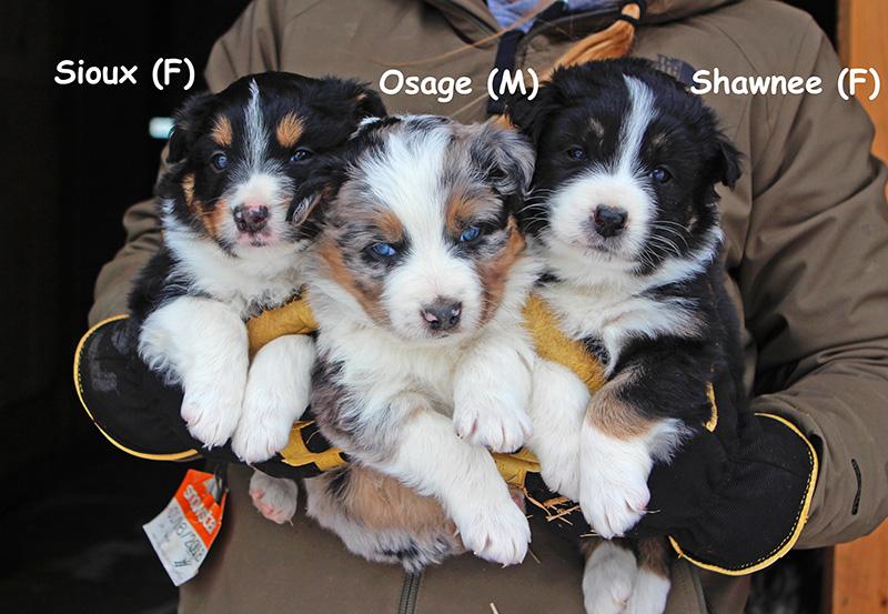 Australian Shepherd Puppies – Sullivan Supply, Inc