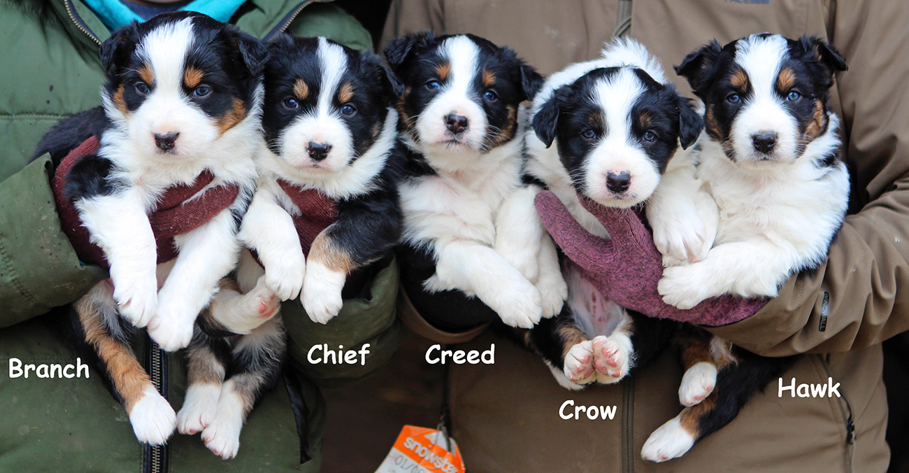 Australian Shepherd Puppies – Sullivan Supply, Inc