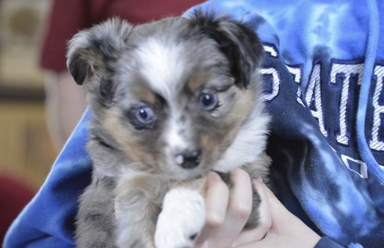 Mini Aussie Puppies For Sale!! – Sullivan Supply, Inc