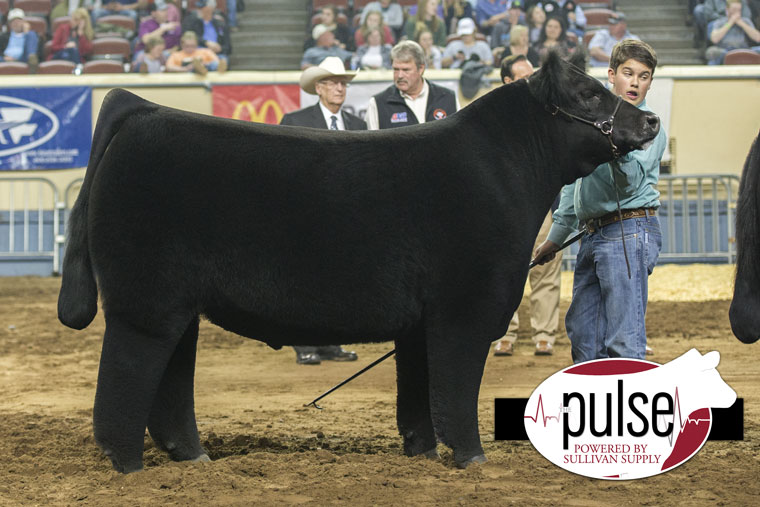 Grand Champion Steer At OYE Sets New Record