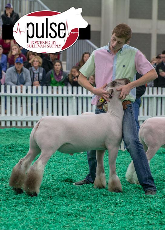 Naile Junior Market Lambs The Pulse