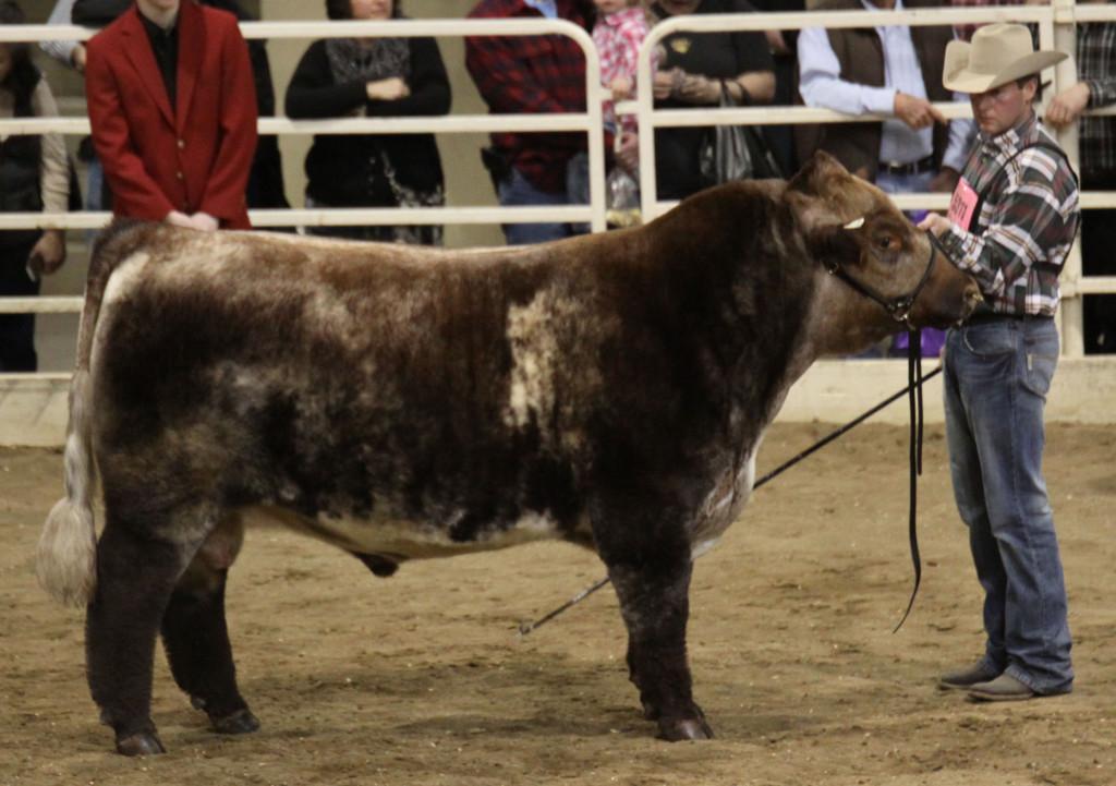 open_shorthorn_bull_res