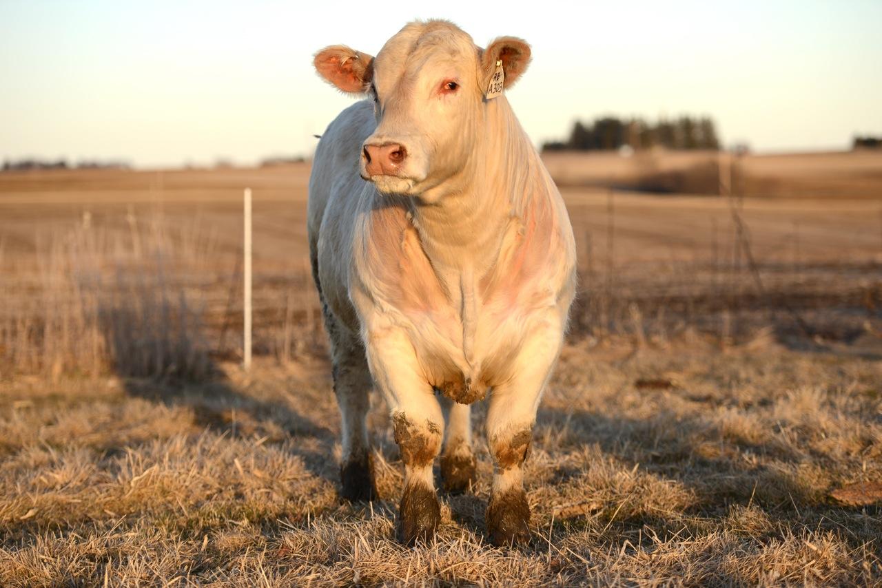 charolais bull for sale