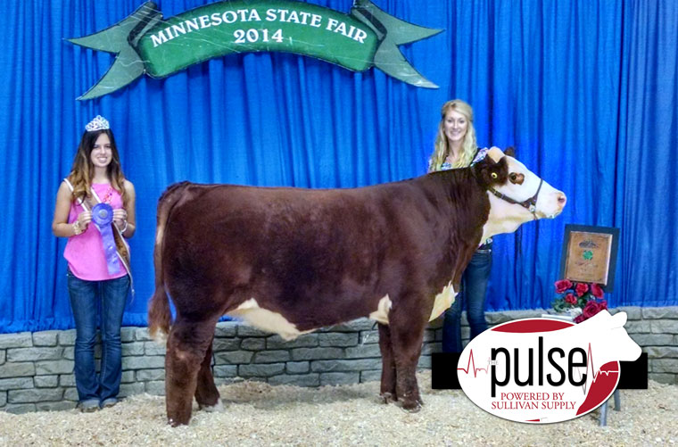 res-hereford-steer-mn