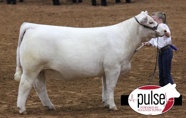 supreme-heifer
