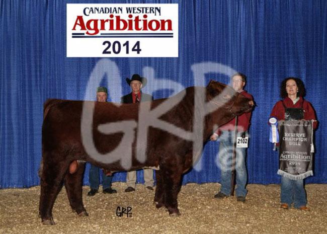 Res-Shorthorn-Bull