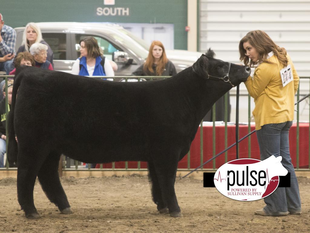 ncc res commercial heifer