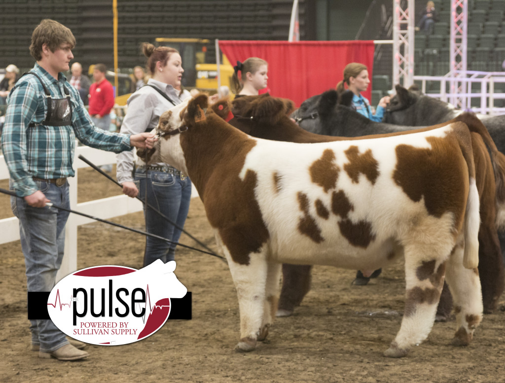 ncc res shorthorn plus steer
