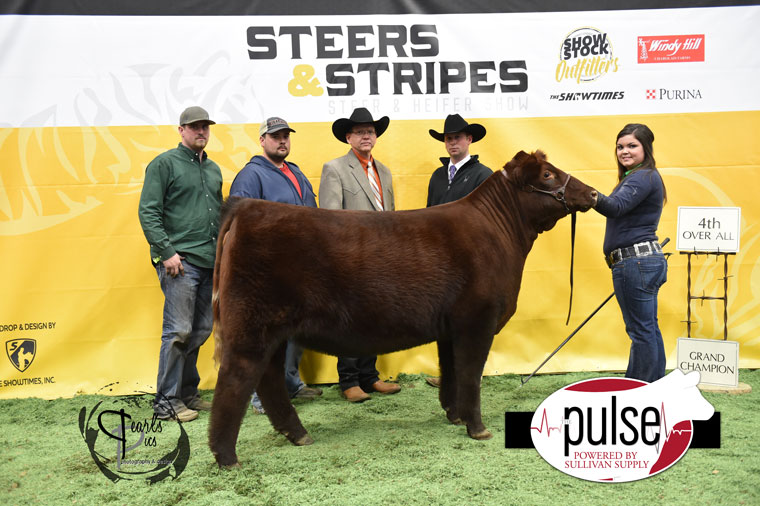 2016-MU-Steers_Stripes-4th-Overall-Heifer-Ring-A_B-MO-Champion-Heifer-Ring-A-MO-Res-Champ-Heifer-Ring-B-Shorthorn-exhibited-by-Haylee-Alden-PPW6584