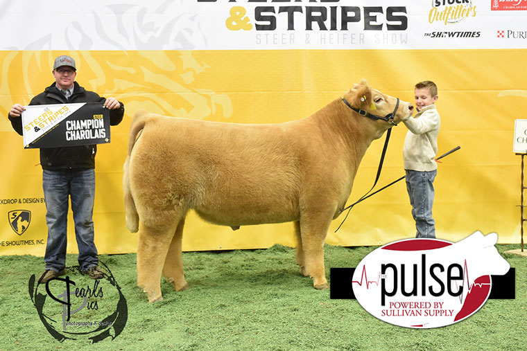 2016-MU-Steers_Stripes-Champion-Charolais-Steer-Ring-A_B-exhibited-by-Noah-Riley-MO-PPW6688