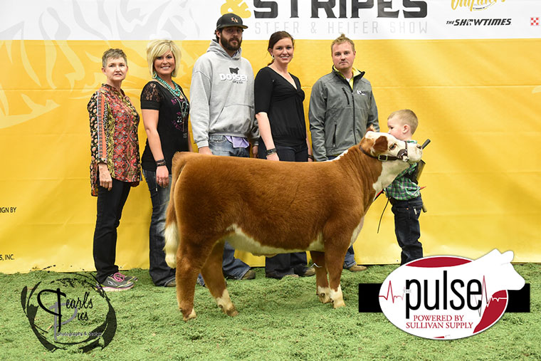 2016-MU-Steers_Stripes-Champion-Mini-Hereford-Steer-Ring-A_B-exhibitred-by-Jagger-Morey-MO-PPW6841