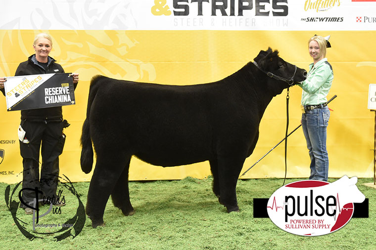 2016-MU-Steers_Stripes-Res-Champ-Chi-Steer-Ring-B-exhibited-by-Emma-Clark-PPW6910