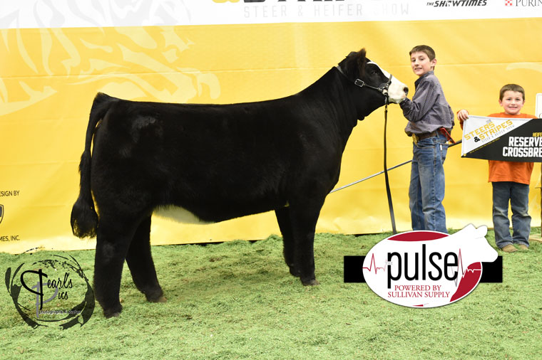 2016-MU-Steers_Stripes-Res-Champ-X-Bred-Heifer-Ring-A-exhibited-by-Cole-Murphy-PPW6267