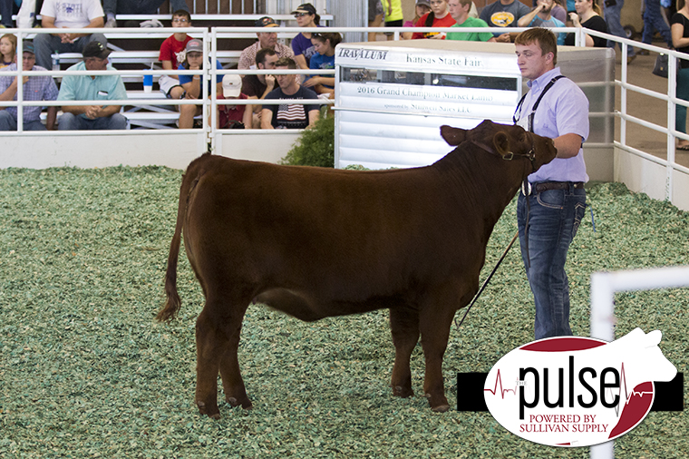 ks-res-red-angus-heifer_img_8796