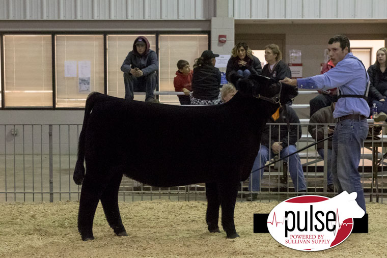 1ch_norfolk16_commercial-heifer_aw2a7456