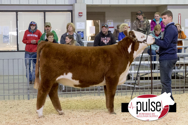 1ch_norfolk16_hereford-heifer_aw2a7282