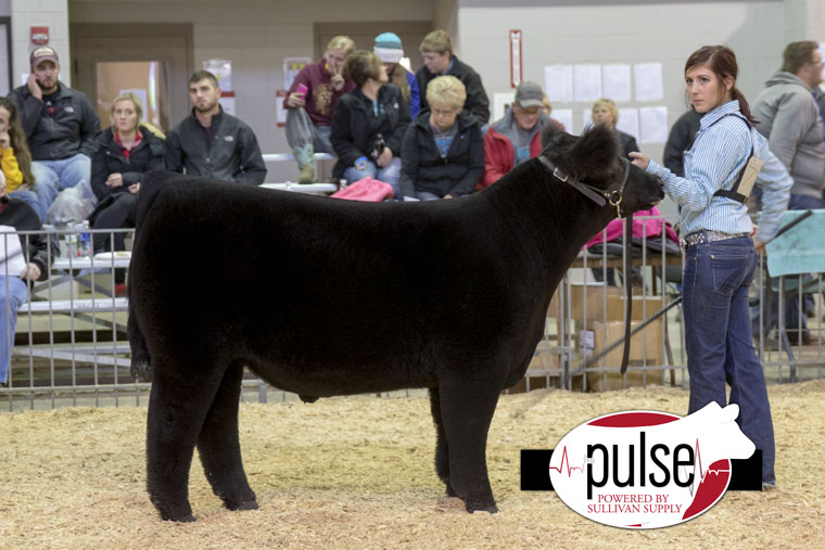 1ch_norfolk16_maine-anjou-steer_aw2a7650