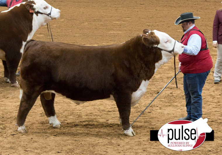 FWSS – Open Polled Hereford Bulls | The Pulse