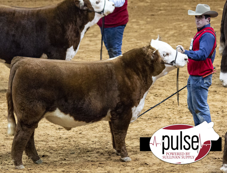 FWSS | Open Polled Hereford Bull | The Pulse