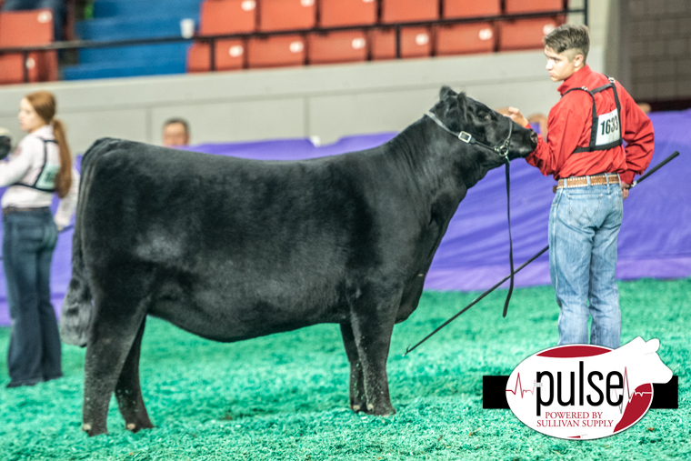 National Junior Angus Show Owned Heifers The Pulse